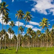 フィリピンにはココナッツを守る法律があります。
