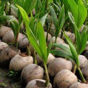 椰子は椰子でも・・・