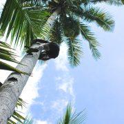 ココナッツの採取に猿を!?